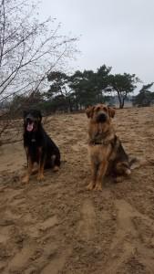 Olix en broer Oakley in de Drunense Duinen febr 2016